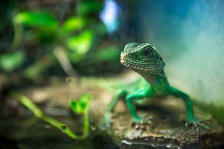 jaszczurka: Zielona jaszczurka z długim ogonem, stojąca na kawałku drewna