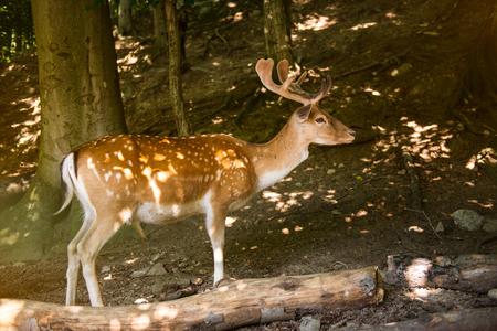 elaphus: Red Deer in evening Sun Stock Photo