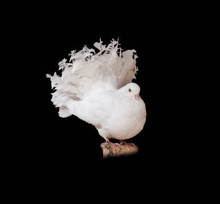 pompous: white pigeon on a branch isolated on black background Stock Photo