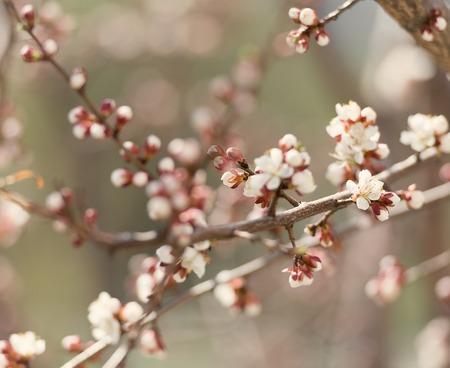 arbol de cerezo: tierna flor en flor ramas de los árboles de cerezo