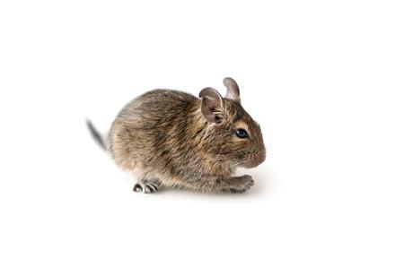 chilean: Little Degu squirrel, isolated, closeup