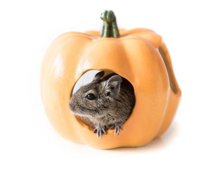 Degu hides in a pumpkin house, closeup Banco de Imagens