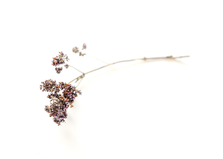 dried oregano flowers