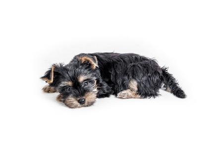 puppy york geïsoleerd Stockfoto
