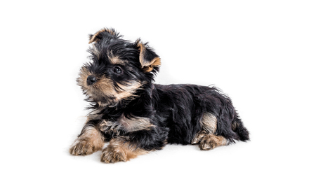 puppy york isolated on white Stock Photo