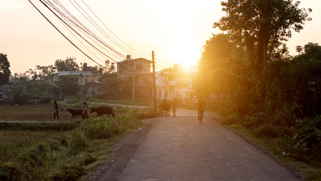Girls lead zebu cows at sunset, Nepal
