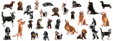 set photo of dogs of different breeds isolated