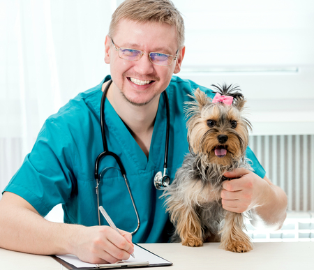 Veterinarian holding Yorkshire Terrier dog on hands