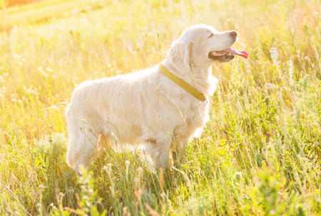 golden retriever meadow