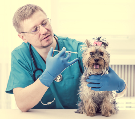 Veterinarian giving an injection to Yorkshire Terrier dog