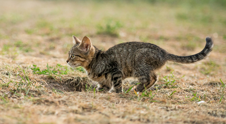 Little striped kitten walking