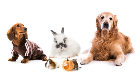 Cute fluffy dog,puppy,rabbit,guinea pig and degus lying together isolated on white background