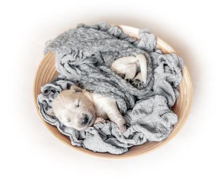 Top view of newborn golden retriever puppy sleeping