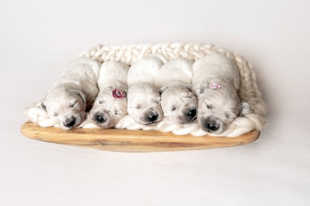Newborn golden retriever puppies sleeping