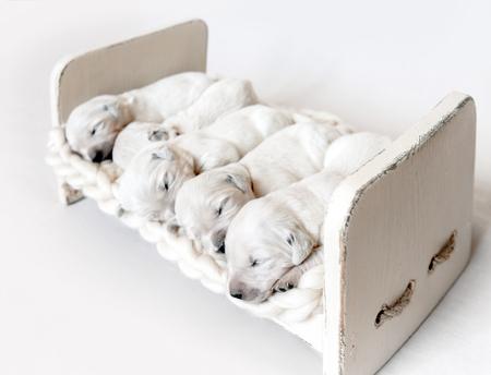 Side view of five cute newborn golden retriever puppies sleeping 写真素材 - 112880041