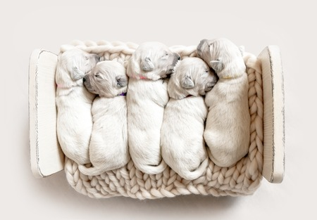 Top view of five cute newborn golden retriever puppies sleeping Фото со стока