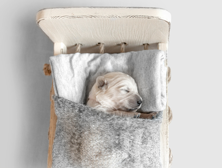 Top view of cute newborn golden retriever puppy sleeping in the small bed