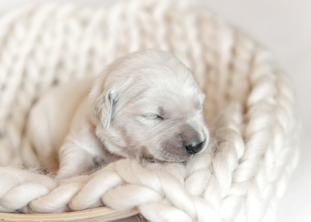 Closeup of cute fluffy newborn golden retriever puppy sleeping Фото со стока