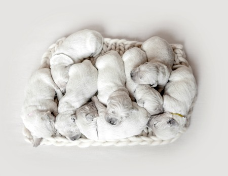 Top view of eight cute newborn golden retriever puppies sleeping Фото со стока