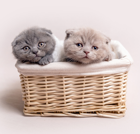 Two British fluffy kittens