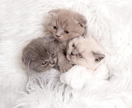 Newborn British kitten sleeps Stock Photo