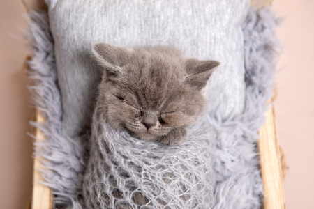 Newborn British fluffy kitten sleeping