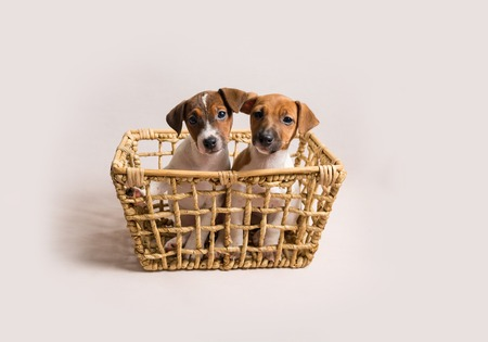 Two white jack russell terrier puppies in busket 版權商用圖片
