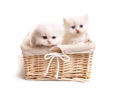 two Scottish fluffy kittens Фото со стока