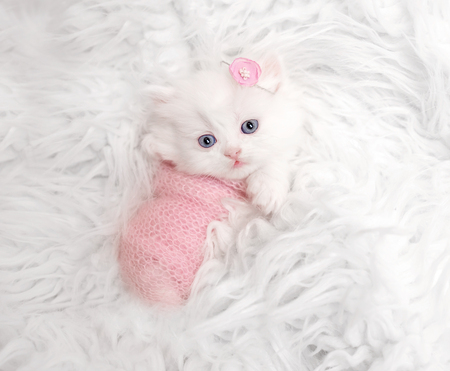 newborn Scottish kitten on white fur Standard-Bild - 112912883