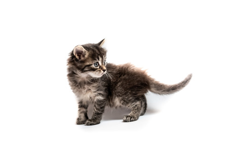 Little fluffy striped kitten isolated on white background Banco de Imagens