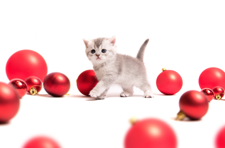 Small furry Scottish kitten with red balls isolated on whute background Stock Photo