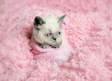 newborn british fluffy kitten sleeps on pink fur Stock Photo