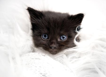 Little fluffy black kitten isolated on white fur. portrait