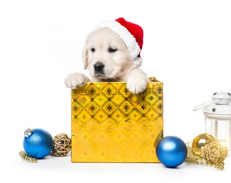 Closeup of golden retriever puppy in gift box isolated