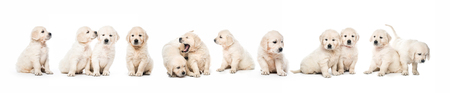 Serial of golden retriever puppies isolated Banque d'images