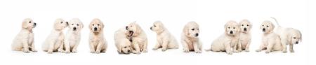 Serial of golden retriever puppies isolated Stockfoto