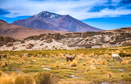 Sunshine field with lamas in Bolivia Stock Photo