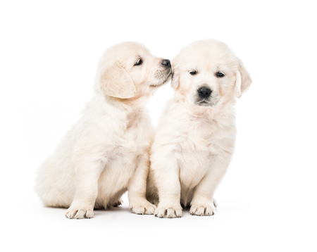 Two golden retriever puppies together isolated 版權商用圖片