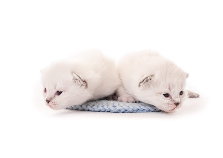 Newborn two white kittens isolated