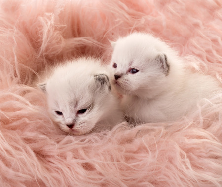 Two white newborn kittens
