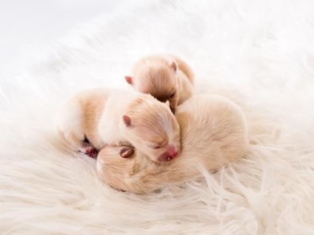 Three newborn chihuahua puppies Reklamní fotografie