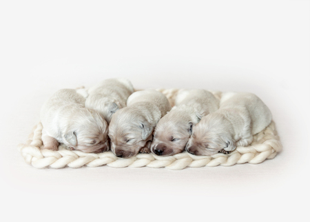 Closeup of cute fluffy newborn golden retriever puppies sleeping