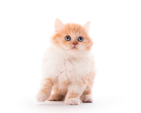 Closeup of cute fluffy kitten isolated