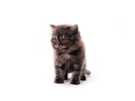Cute dark fur kitten isolated