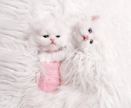 newborn Scottish kitten on white fur