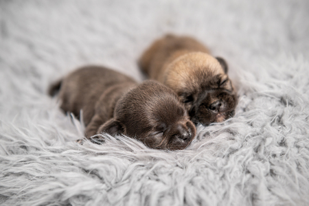 Little chihuahua breed puppies on coverlet