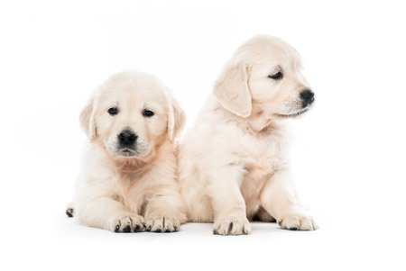 Two golden retriever puppies together isolated Stock Photo