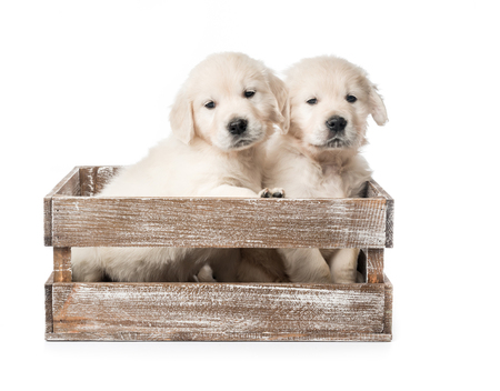Four golden retriever puppies in basket isolated Stockfoto
