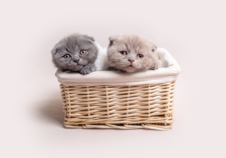 two British fluffy kittens