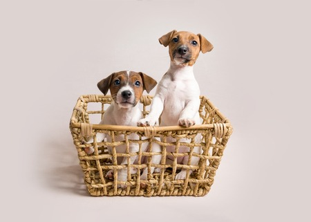 Two white jack russell terrier puppies in busket Stockfoto